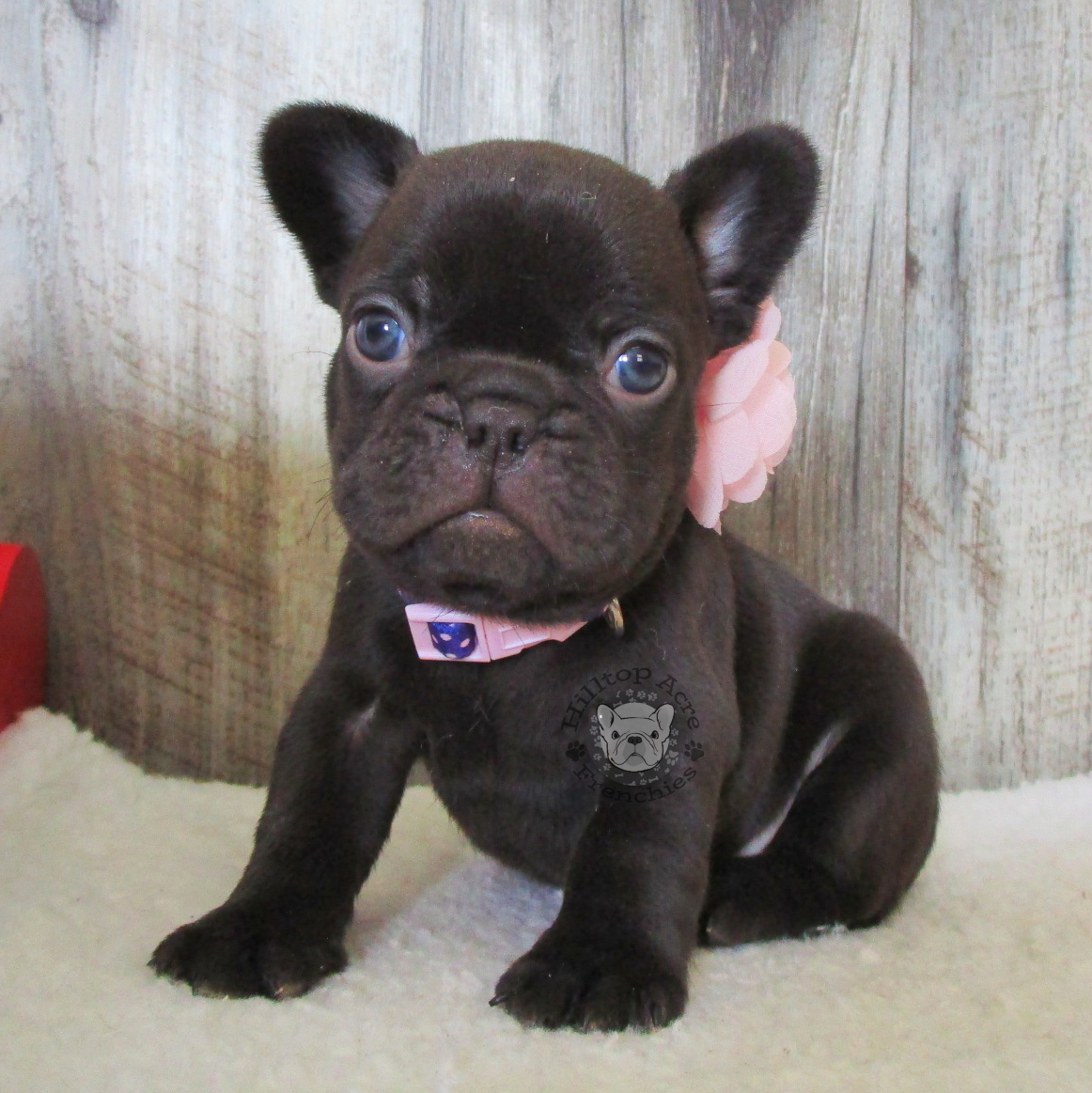 French Bulldog Puppies: Blue, Blue & Tan Puppies for Sale in